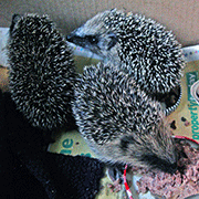 Hedgehog-care-rescue-orphans