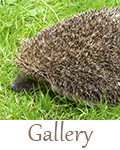 hedgehog-care-gallery