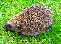 hedgehog-care-gardens