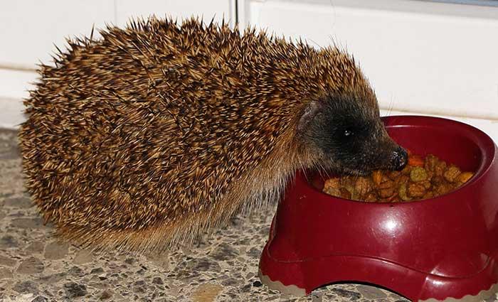 Hedgehog Care Rescue Sanctuary Care of Hedgehogs