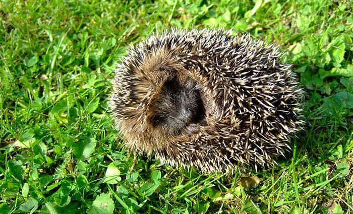 Hedgehog Care Rescue Sanctuary Contact