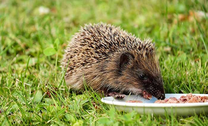 Hedgehog Care Rescue Sanctuary Feeding
