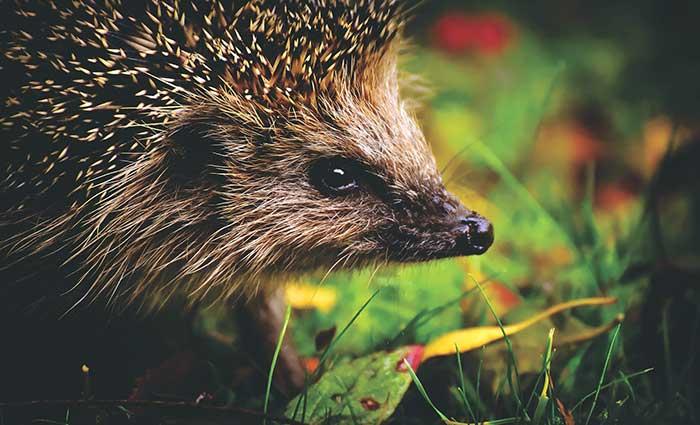 Hedgehog Care Rescue Sanctuary Gardening