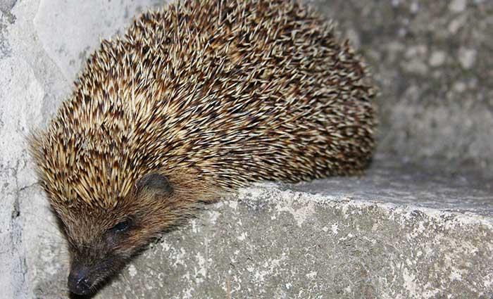 Hedgehog Care Rescue Sanctuary GDPR Policy