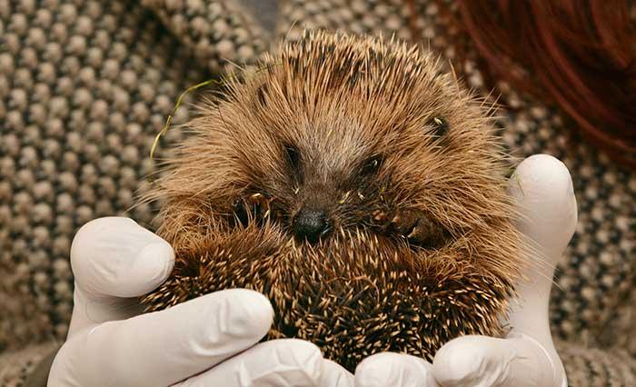 Hedgehog Care Rescue Sanctuary Hedgehog First Aid