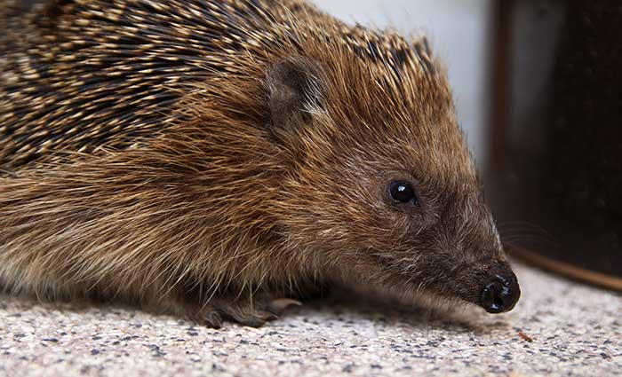 Hedgehog Care Rescue Sanctuary History