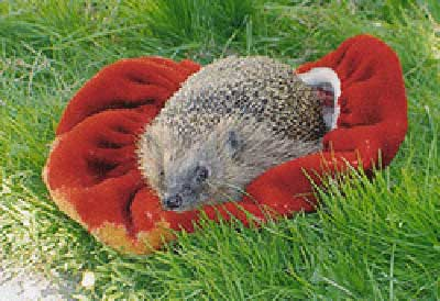 Hedgehog Care Rescue Sanctuary In Memory Ruth