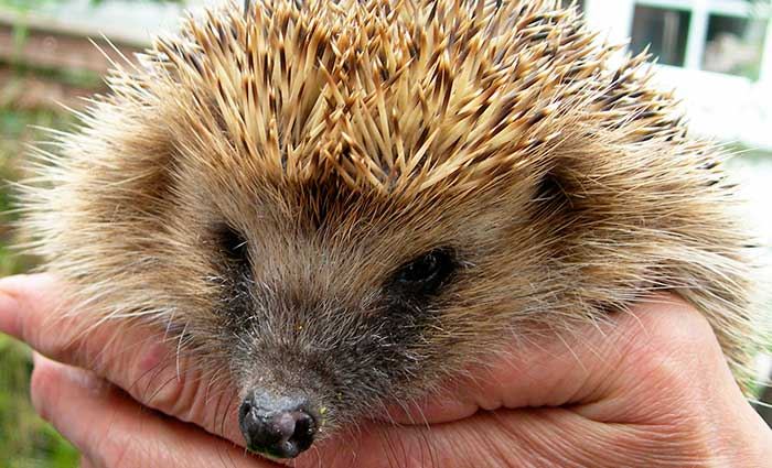 Hedgehog Care Rescue Sanctuary In Memory
