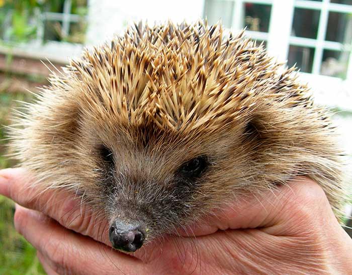 Hedgehog Care Rescue Sanctuary Lincolnshire