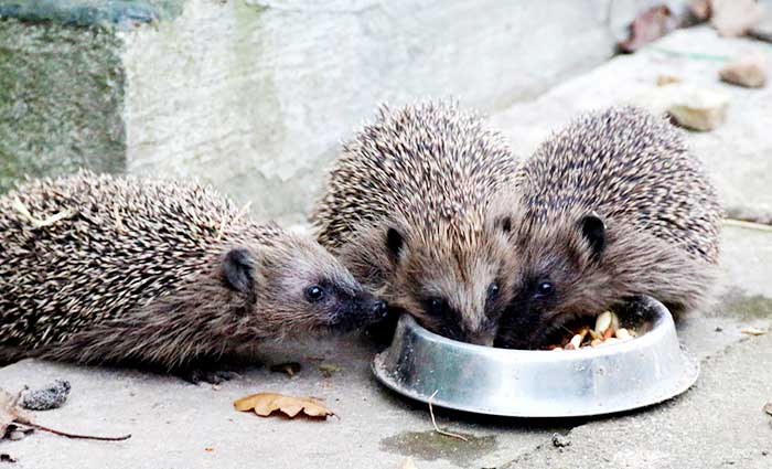 Hedgehog Care Rescue Sanctuary News