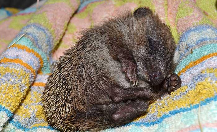 Hedgehog Care Rescue Sanctuary Newsletters
