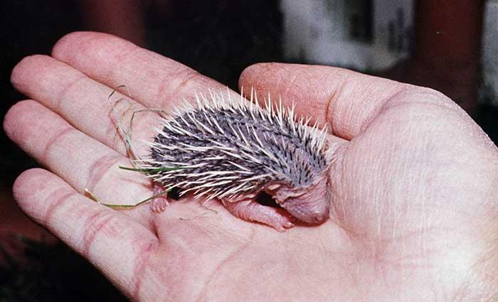 Hedgehog Care Rescue Sanctuary Orphans